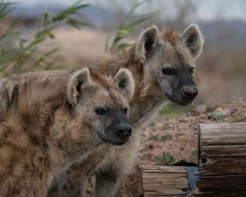 Out of Africa Wildlife Park - Hyenas