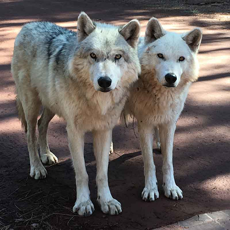 Tundra Wolves Bearizona | Arizona Attractions
