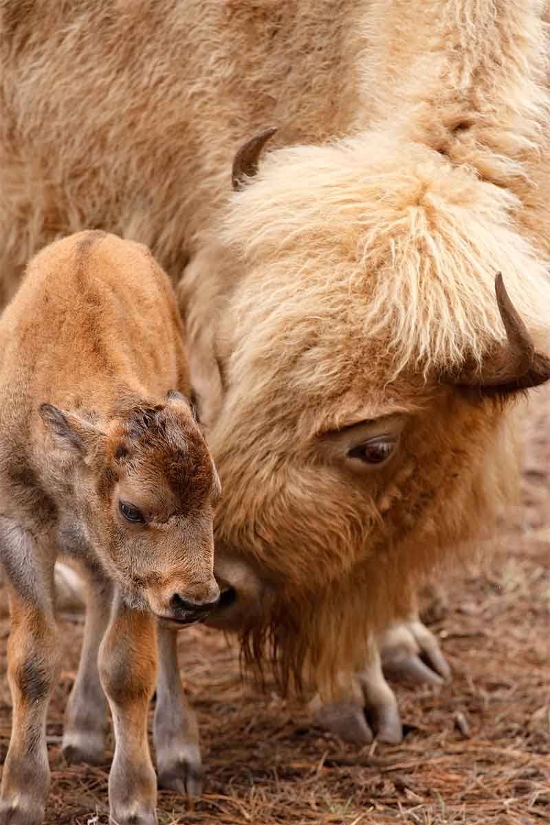 Bearizona - Bison and Baby | Arizona Attractions