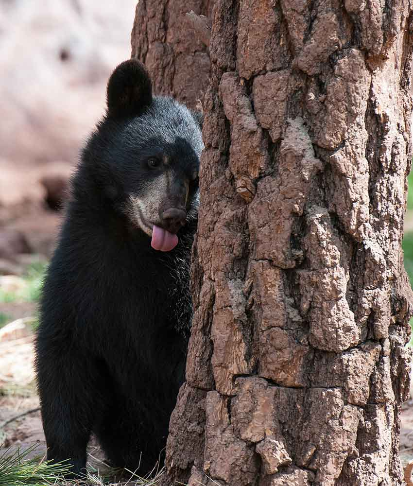Wildlife Parks Arizona - Bear Cubs